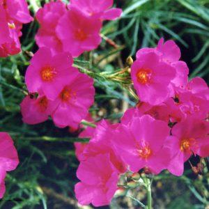 Calandrinia Ruby Tuesday