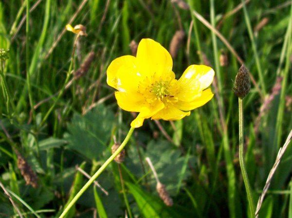 Meadow buttercup