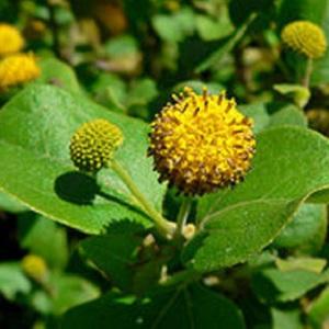 Podanthus ovatus