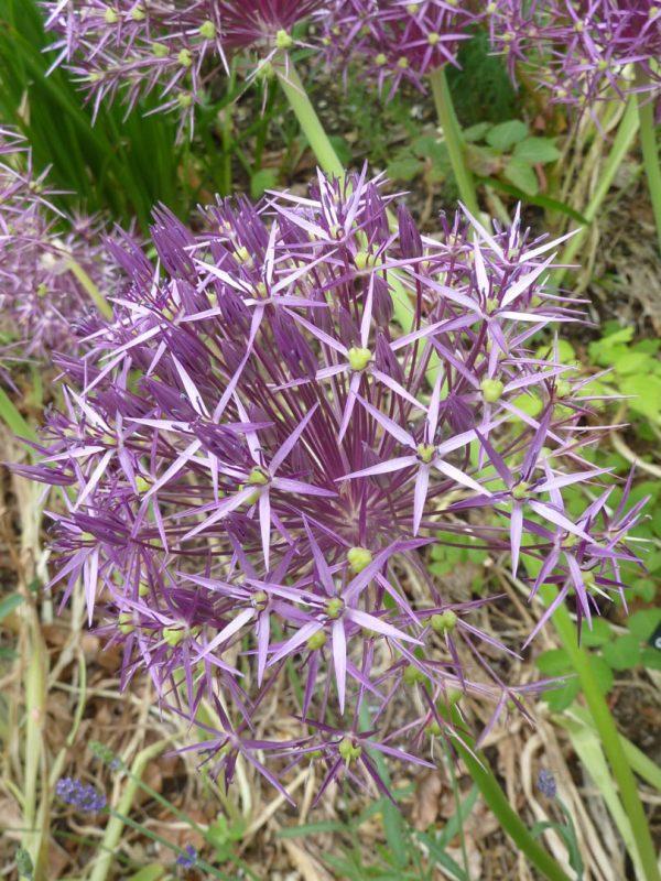 Allium christophii