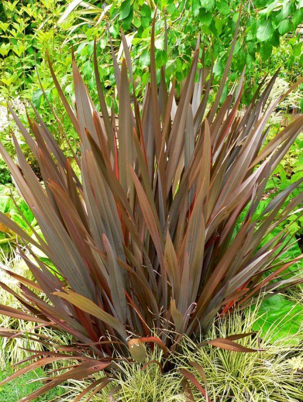 Phormium tenax purpureum