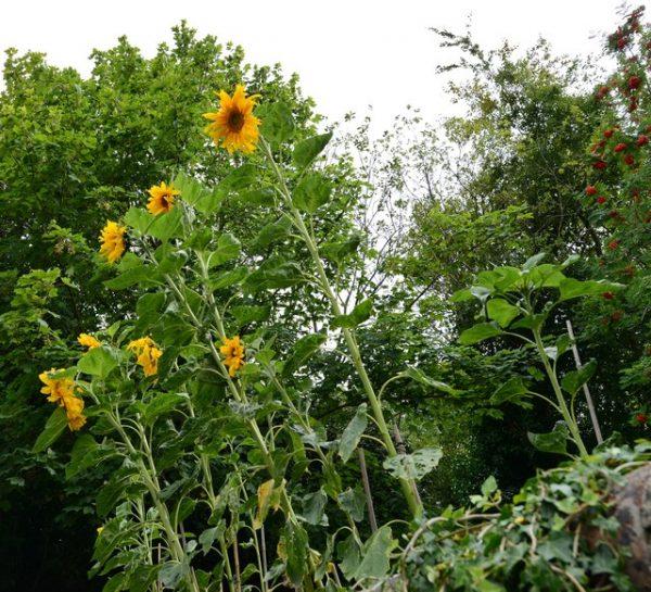 Sunflower F1 Kong